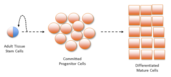 asymmetric self-renewal of stem cells