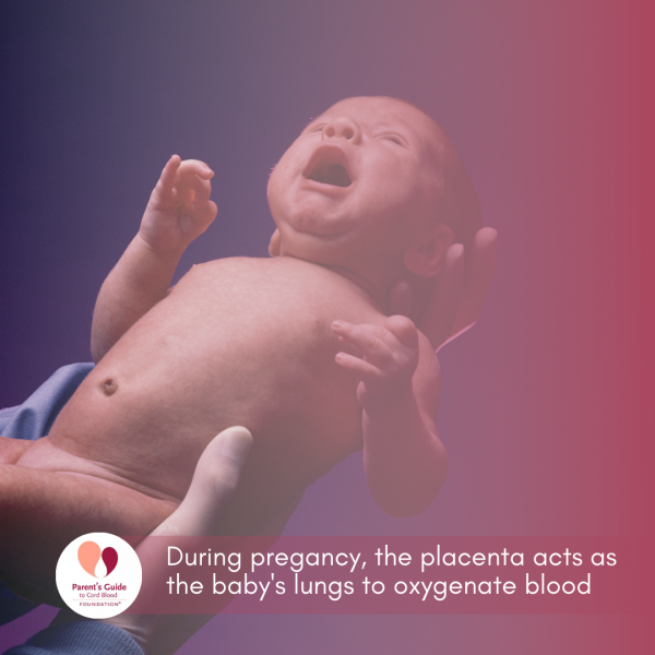 During pregancy, the placenta acts as the baby's lungs to oxygenate blood